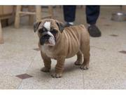 Healthy English Bulldog Puppies Available For Free (ADOPTION)