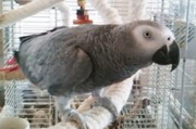 ADORABLE AFRICAN GREY PARROT